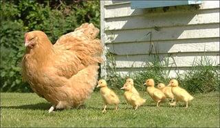 ducks-follow-chicken_-_Week_1_blog-1.jpg