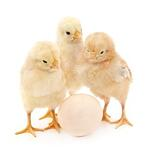 stock-photo-70392605-chickens-with-egg.jpg